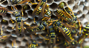 With the heat and humidity plus our on-going rainy days, the wasps and yellow jackets are becoming pretty annoying buzzing around decks and houses.